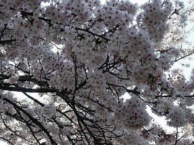 新宿御苑 花見